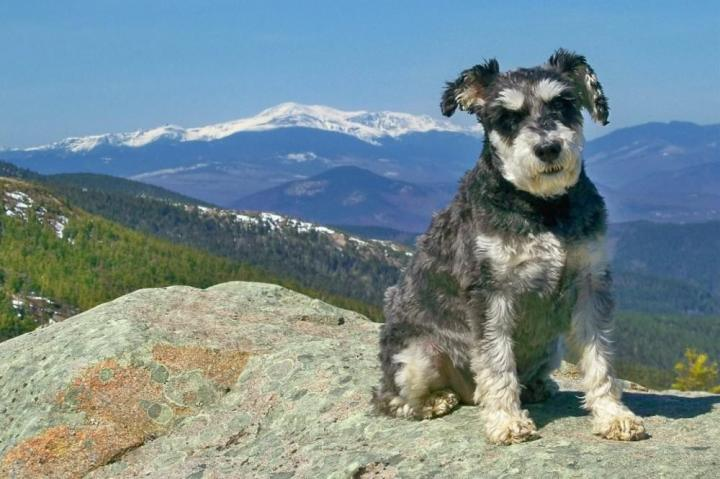 Atticus the Schnauzer at the top of another one of his mountains