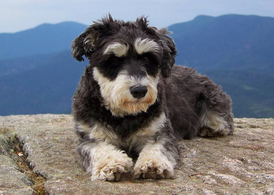 Atticus the Schnauzer at the top of one of his mountains