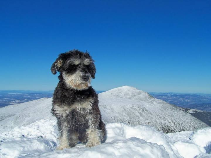 Atticus the Schnauzer in the snow