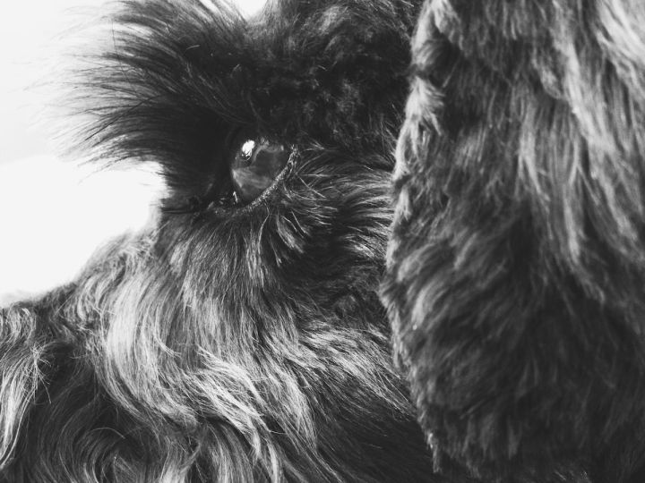 Miniature Schnauzer detail of eye and face profile