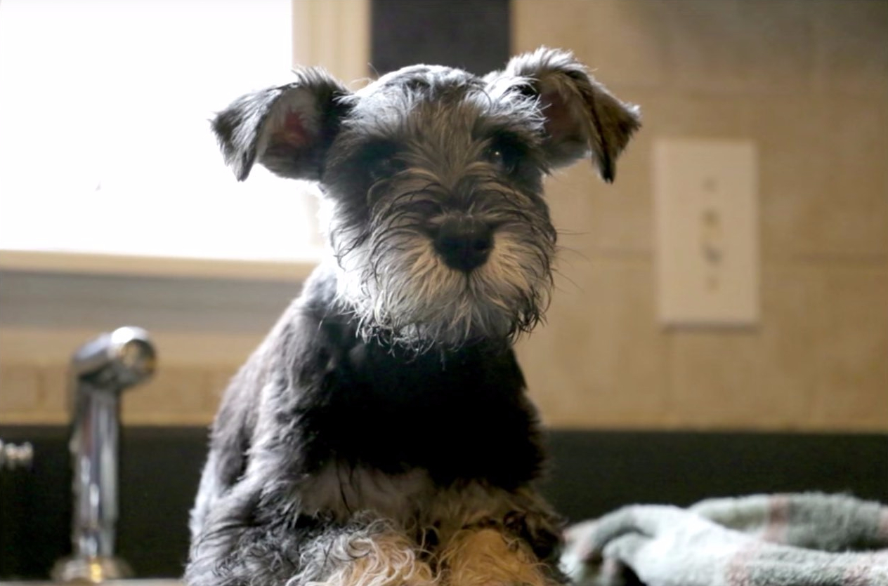 Miniature Schnauzer Puppy Chumpie - Is this the cutest dog in the world