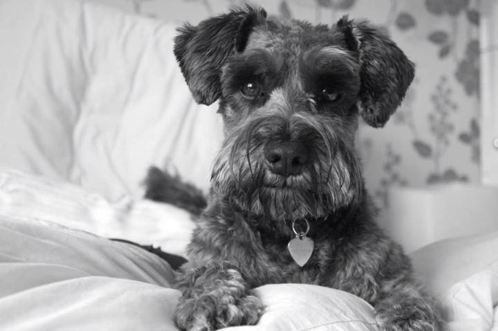 Miniature Schnauzer poses for the camera on white linen