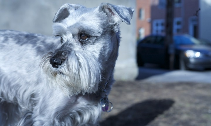 Salt and Pepper Schnauzer - we want your video for $50