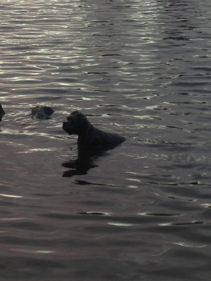 Sea water, rivers or lakes, this is the Miniature Schnauzer who loves to swim