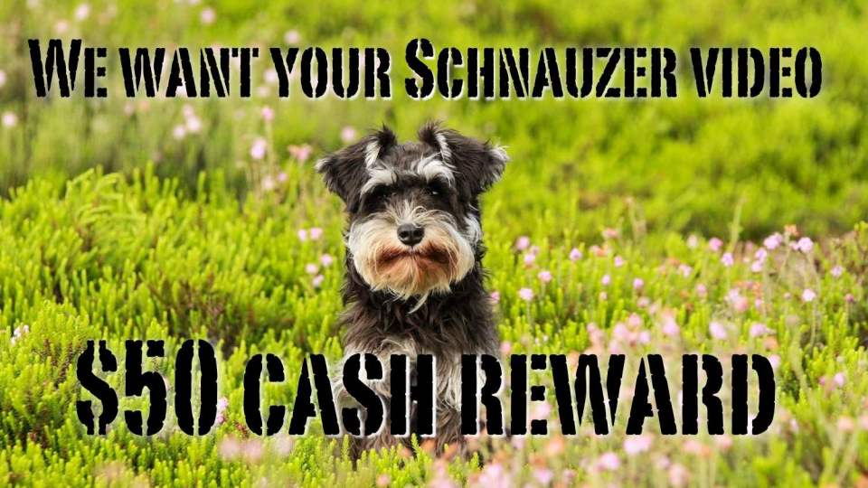 We want your Miniature Schnauzer Video and pay $50
